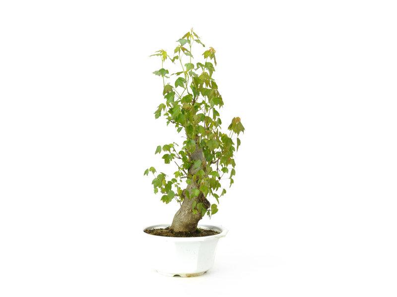 Dreizackahorn, 36 cm, ± 11 Jahre alt