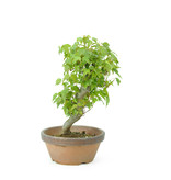 Trident maple, 17 cm, ± 8 years old