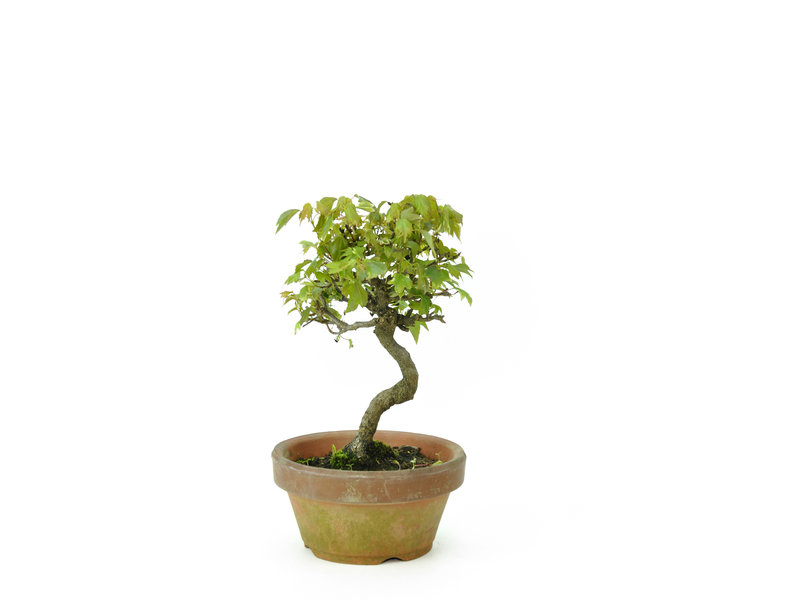 Trident maple, 14,5 cm, ± 8 years old