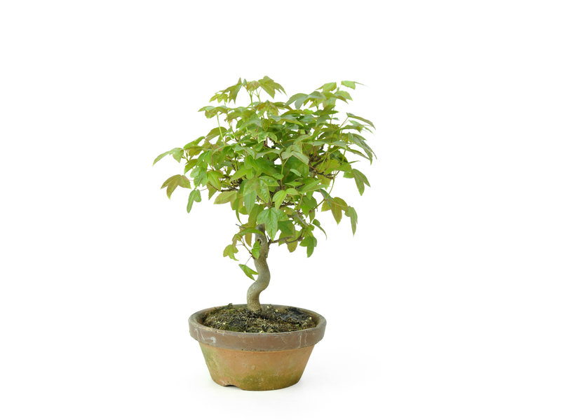 Trident maple, 18 cm, ± 8 years old