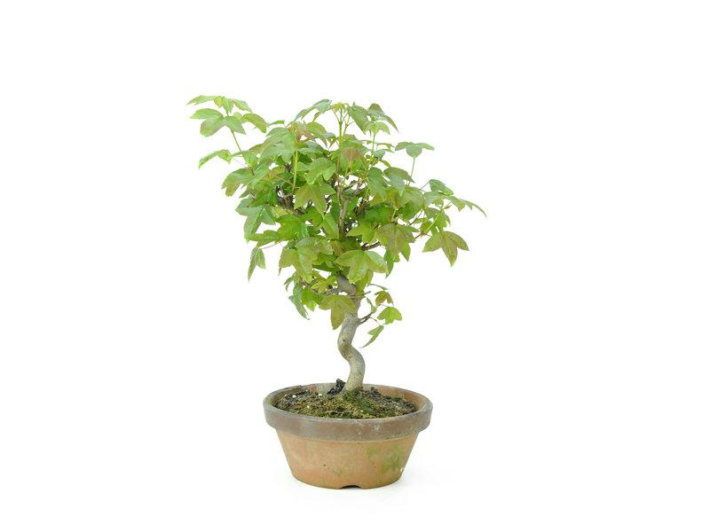 Acero tridente, 18 cm, ± 8 anni