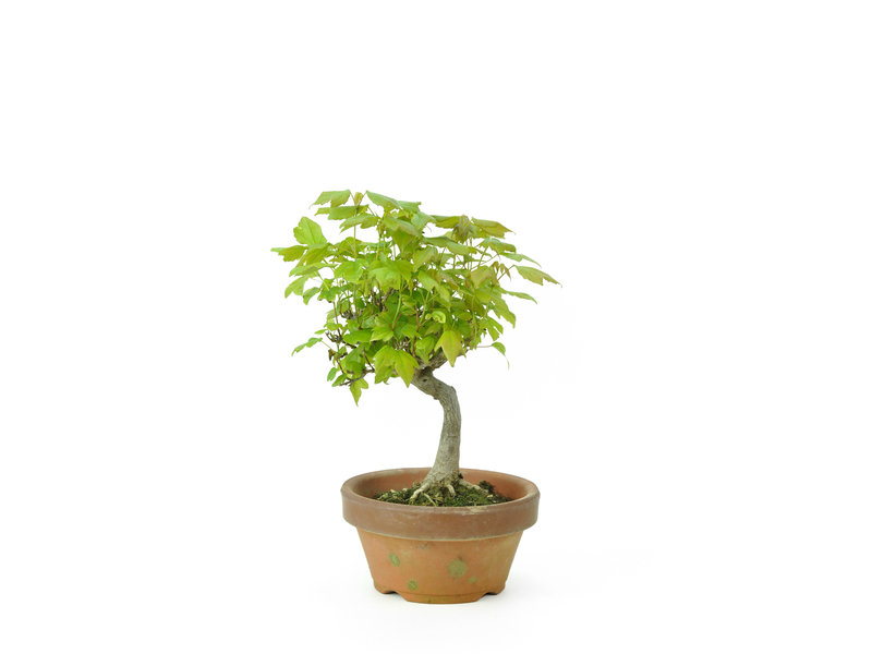 Trident maple, 16 cm, ± 8 years old