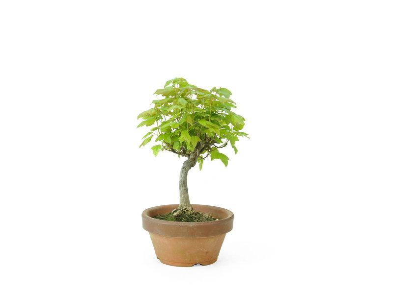 Acero tridente, 16 cm, ± 8 anni