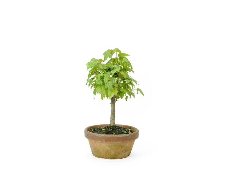 Acero tridente, 17 cm, ± 8 anni
