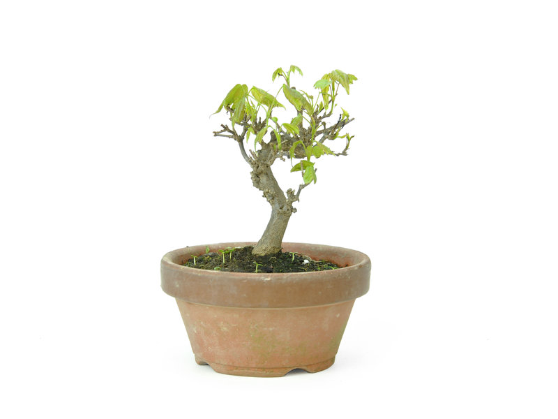 Trident maple, 9,5 cm, ± 8 years old