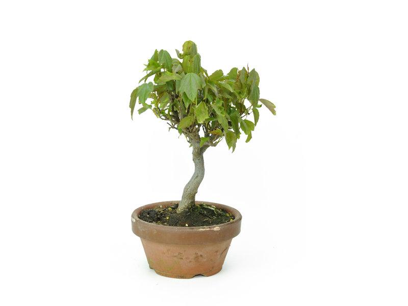 Dreizackahorn, 17,5 cm, ± 8 Jahre alt