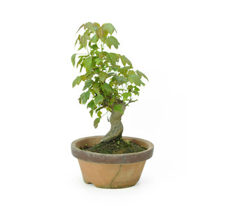 Trident maple, 18,5 cm, ± 8 years old