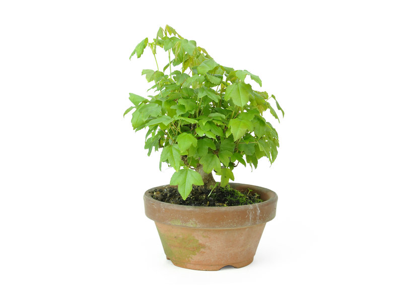 Trident maple, 11,6 cm, ± 8 years old
