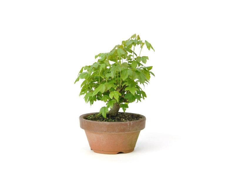 Acero tridente, 11,6 cm, ± 8 anni