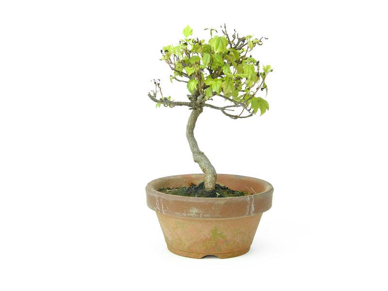 Acero tridente (Deshojo), 14,6 cm, ± 8 anni