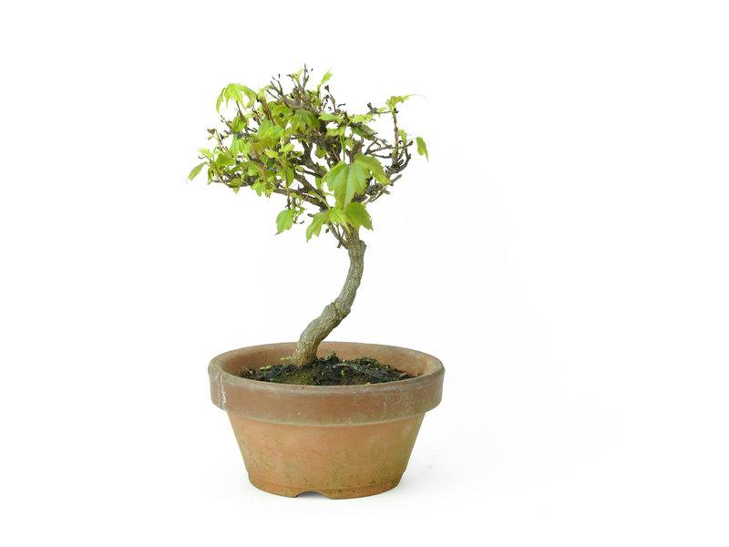 Dreizackahorn (Deshojo), 14,6 cm, ± 8 Jahre alt