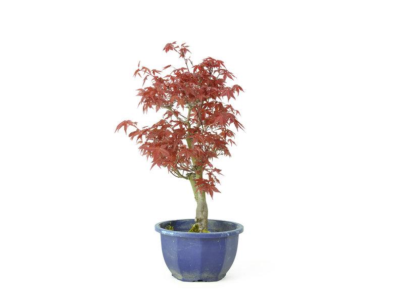 Acero tridente (Deshojo), 30,2 cm, ± 8 anni