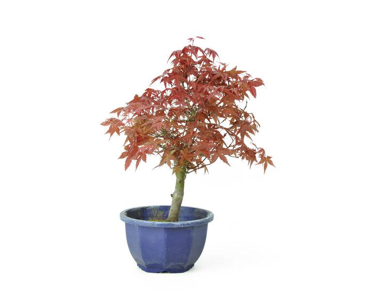 Acero tridente (Deshojo), 25,3 cm, ± 8 anni