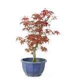 Acero tridente (Deshojo), 27,9 cm, ± 8 anni