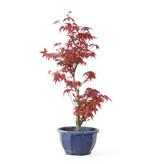 Acero tridente (Deshojo), 38,1 cm, ± 8 anni