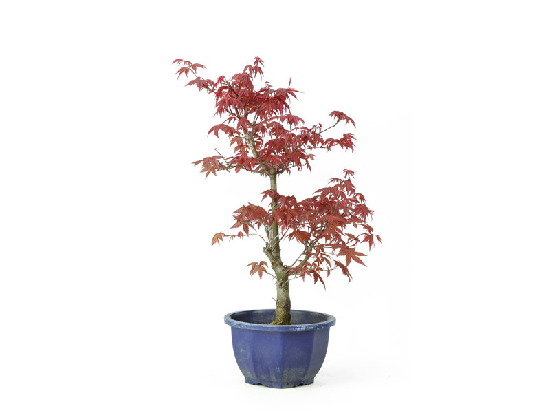 Acero tridente (Deshojo), 39,1 cm, ± 8 anni