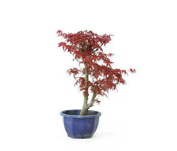 Trident maple (Deshojo), 29,8 cm, ± 8 years old