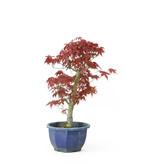 Acero tridente (Deshojo), 29,8 cm, ± 8 anni