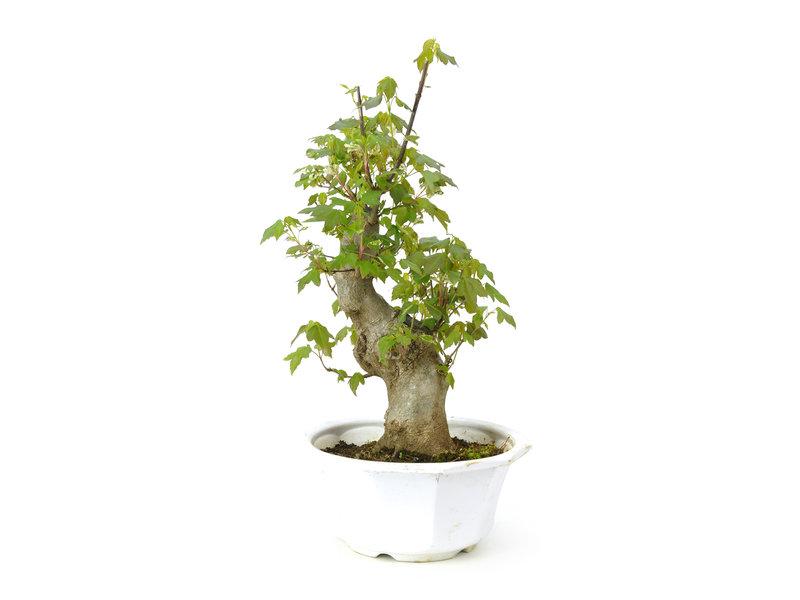 Dreizackahorn, 28,9 cm, ± 11 Jahre alt