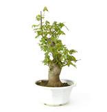 Acero tridente, 28,9 cm, ± 11 anni