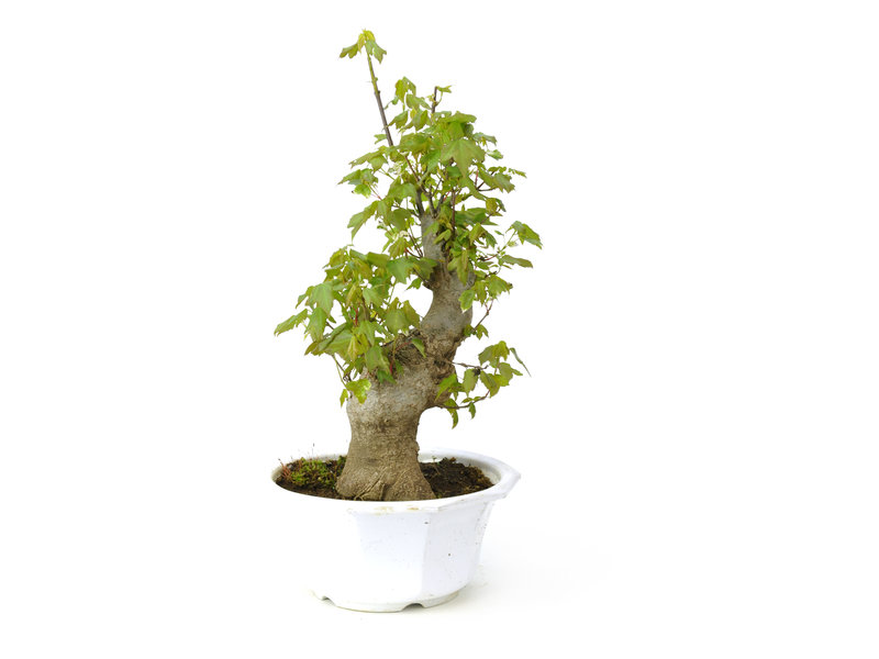 Trident maple, 28,9 cm, ± 11 years old
