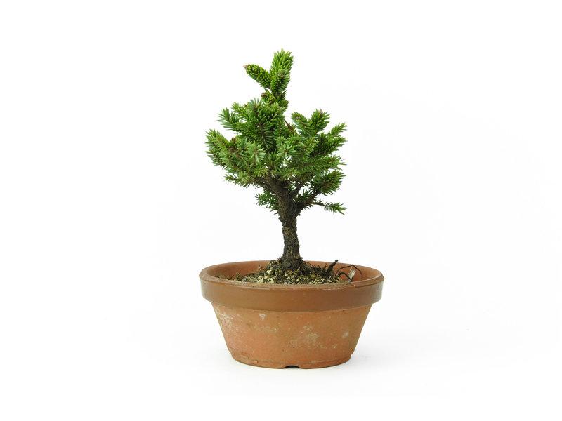 Yzo spruce (Ezomatsu), 16,2 cm, ± 15 years old