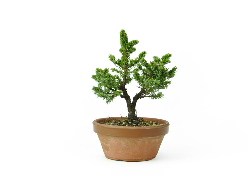 Yzo spruce (Ezomatsu), 16,4 cm, ± 15 years old