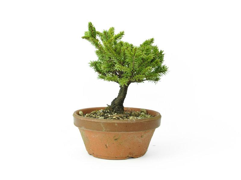 Yzo spruce (Ezomatsu), 16,9 cm, ± 15 years old