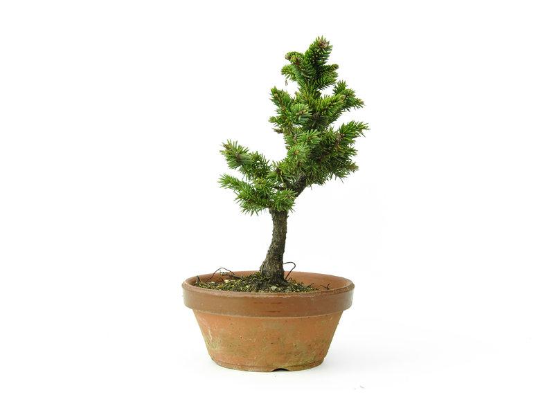 Yzo spruce (Ezomatsu), 20 cm, ± 15 years old