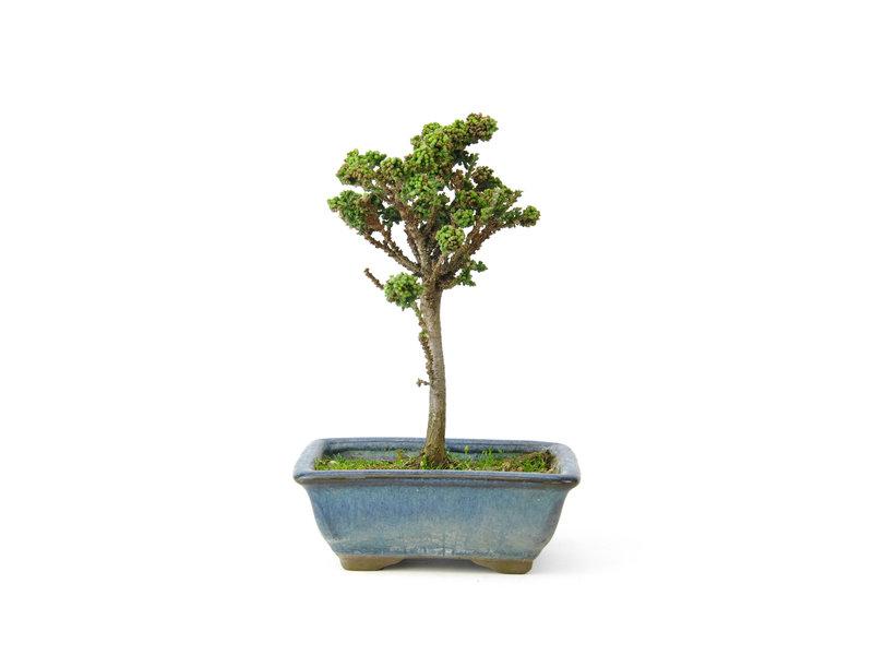 Japanse dwergcypres (Sekka Hinoki), 16 cm, ± 8 jaar oud met een compacte, brede zuilvormige groeiwijze en heldergroen blad