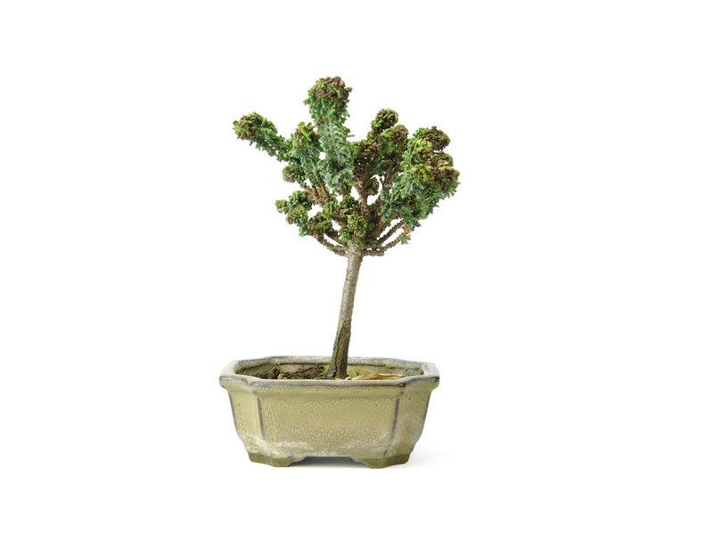 Japanse dwergcypres (Sekka Hinoki), 19 cm, ± 8 jaar oud met een compacte, brede zuilvormige groeiwijze en heldergroen blad