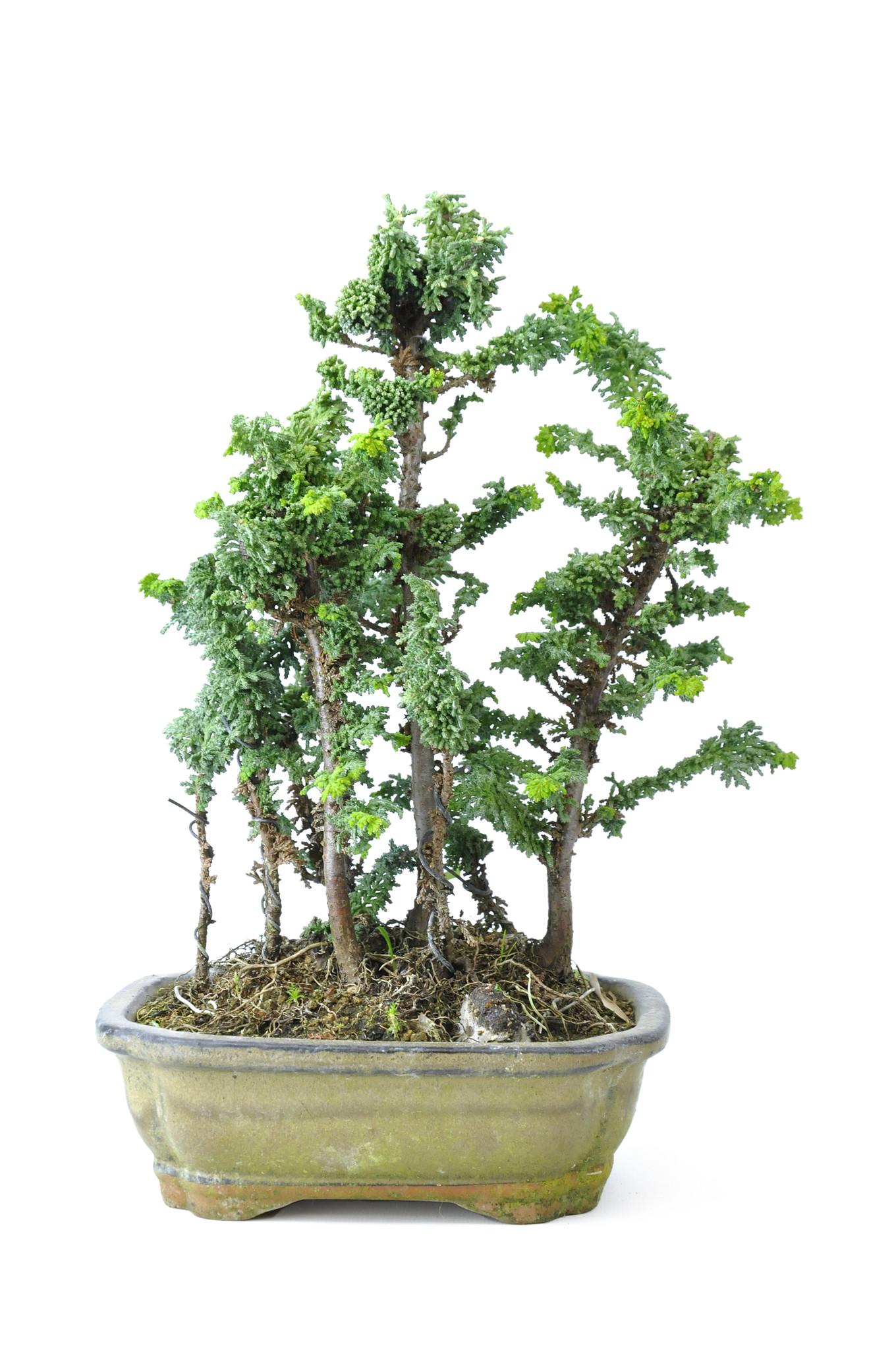 Japanese Cypress Sekka Hinoki 24 Cm 10 Years Old Bonsaiplaza