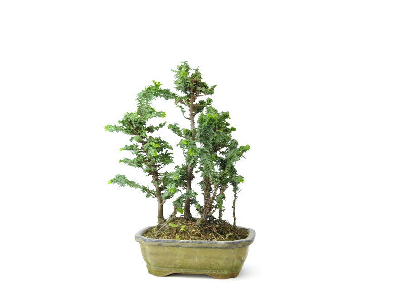 Japanese cypress (Sekka Hinoki), 24 cm, ± 10 years old with a compact, wide columnar growth habit and bright green foliage