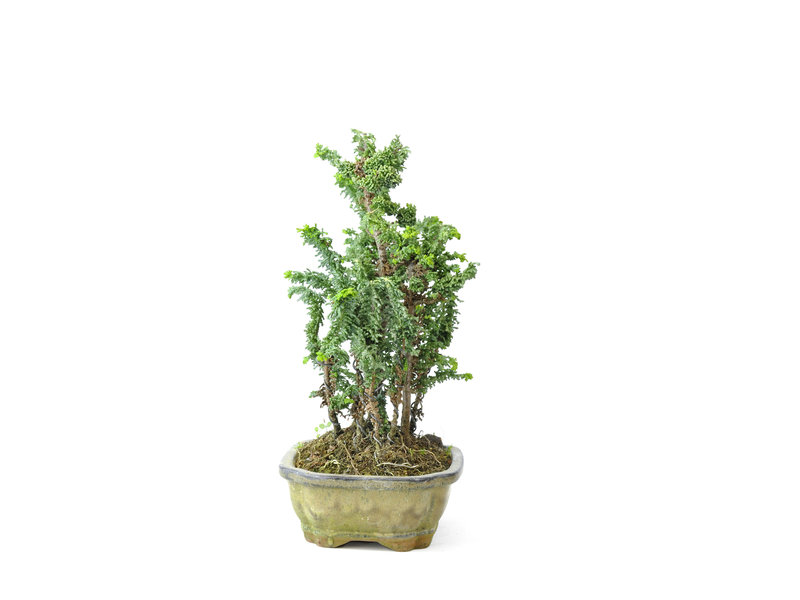 Japanse dwergcypres (Sekka Hinoki), 24 cm, ± 10 jaar oud met een compacte, brede zuilvormige groeiwijze en heldergroen blad