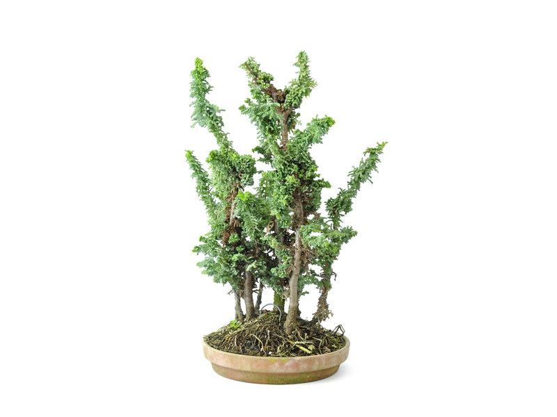 Japanse dwergcypres (Sekka Hinoki), 26 cm, ± 10 jaar oud met een compacte, brede zuilvormige groeiwijze en heldergroen blad