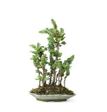 Japanese cypress (Sekka Hinoki), 28 cm, ± 10 years old with a compact, wide columnar growth habit and bright green foliage