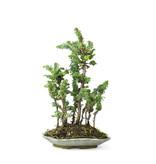 Japanse dwergcypres (Sekka Hinoki), 28 cm, ± 10 jaar oud met een compacte, brede zuilvormige groeiwijze en heldergroen blad