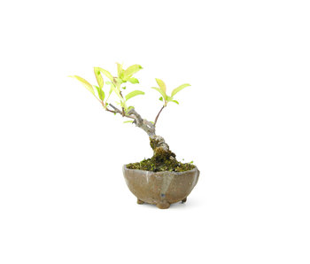 Japanese crab apple, 10 cm, ± 8 years old