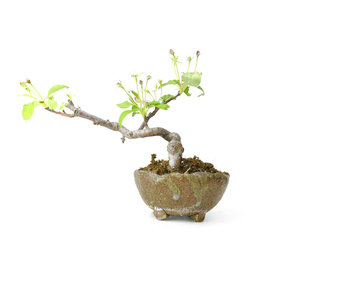 Japanese crab apple, 8 cm, ± 8 years old