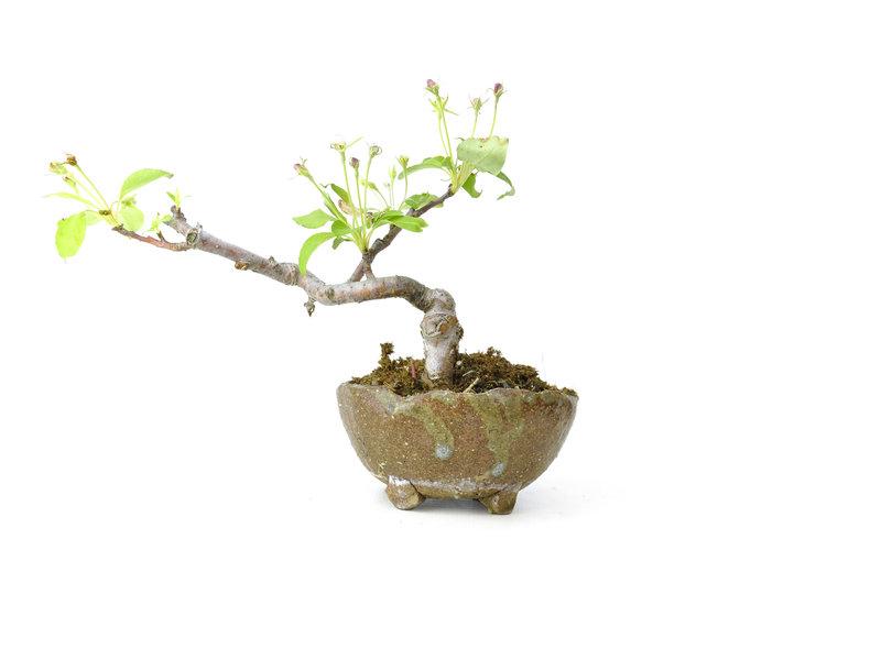 Japanse krabappel, 8 cm, ± 8 jaar oud met witte bloemen