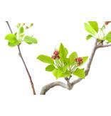 Micro Malus, 14 cm, ± 8 jaar oud met witte bloemen