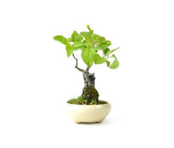 Japanse krabappel, 16 cm, ± 12 jaar oud