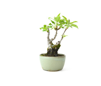 Japanese crab apple, 17 cm, ± 10 years old