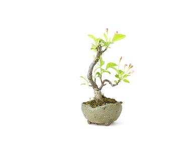Mela granchio giapponese, 14 cm, ± 8 anni