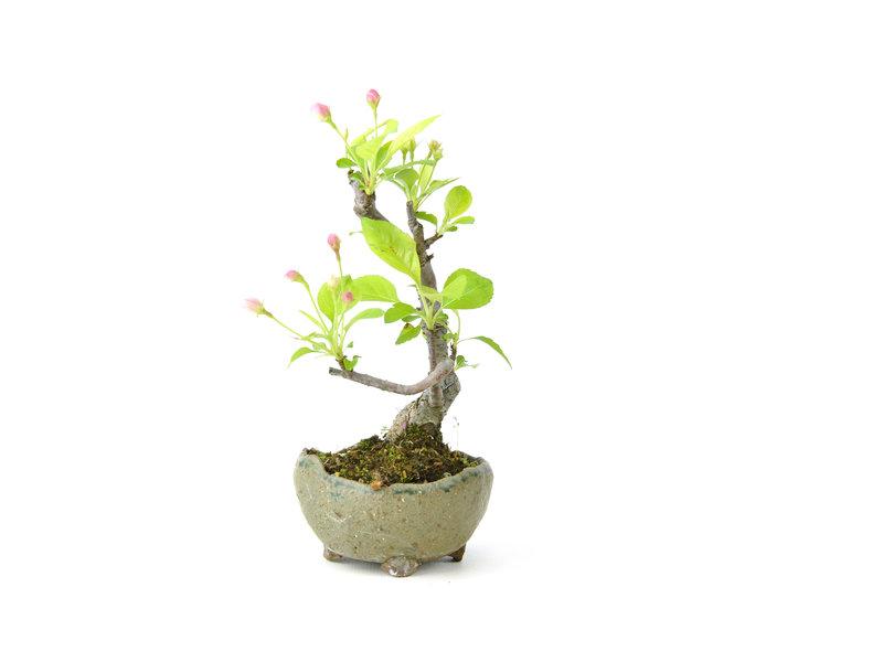 Japanse krabappel, 14 cm, ± 8 jaar oud met witte bloemen
