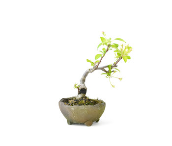 Japanese crab apple, 12 cm, ± 8 years old