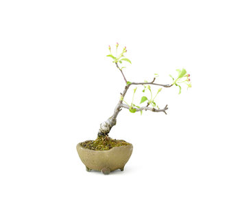 Japanese crab apple, 14 cm, ± 8 years old