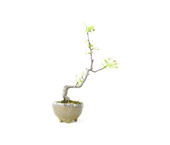 Japanese crab apple, 19 cm, ± 8 years old