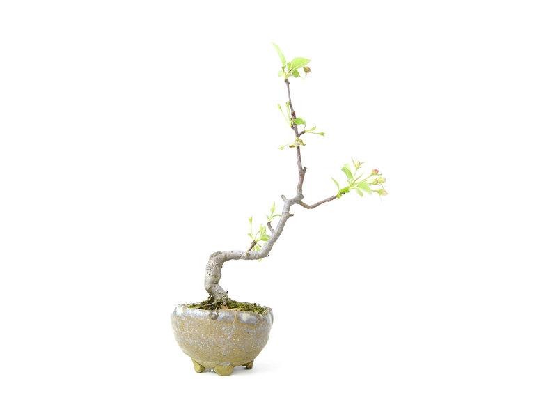 Japanse krabappel, 19 cm, ± 8 jaar oud met witte bloemen