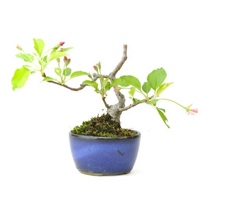Japanese crab apple, 11 cm, ± 10 years old